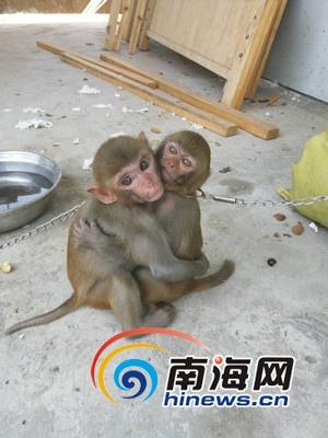 圈养猕猴获海南志愿者解救神情惊恐怕人(图)