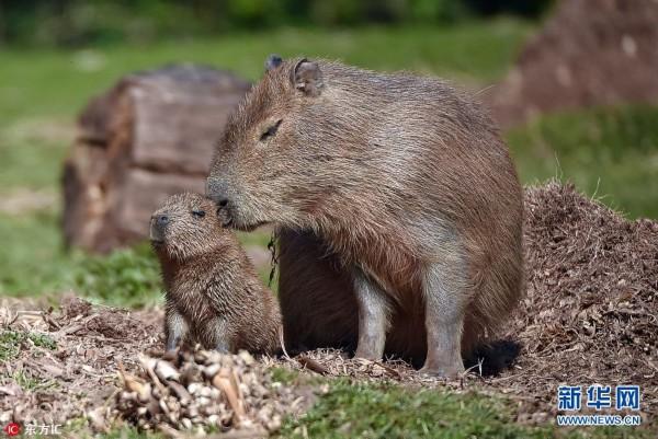 当地时间2017年4月18日,英国切斯特,动物园新来的世界上最大的啮齿动物诞下了宝宝。六岁的水豚妈妈Lily现在成了动物园网红,很多参观者都是为它而来,最近,它上了英国第四频道的节目《动物园的秘密生活》,直播了它生下宝宝的全过程。这个刚出生的小家伙还没被确认性别,但是它已经站起来并且可以四处跑动了,它爬到妈妈Lily身上,跳下水开始它的第一次游泳。水豚通常是指巨大的豚鼠,它们可以长到1.