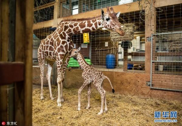 英动物园长颈鹿妈妈亲吻宝宝 母子情深温馨感人(组图)