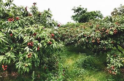 """临高""""新农民""""以生态种植法种出高品质荔枝"""