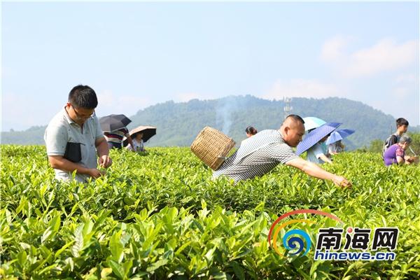 海南白沙乡村旅游受热捧 端午节采茶主题日成亮点