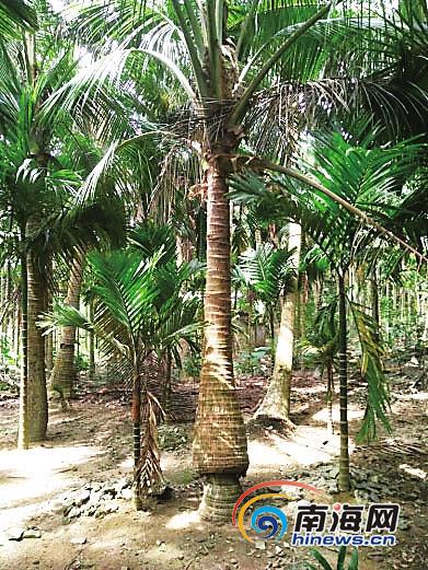 """奇!琼海有一棵椰子树长成""""树上树"""""""