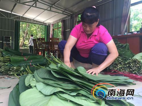 """琼中农民林下套种粽叶""""搭车""""互联网年入920万元"""