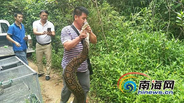 三亚市民主动联系野保站 放生两条家养十余年蟒蛇