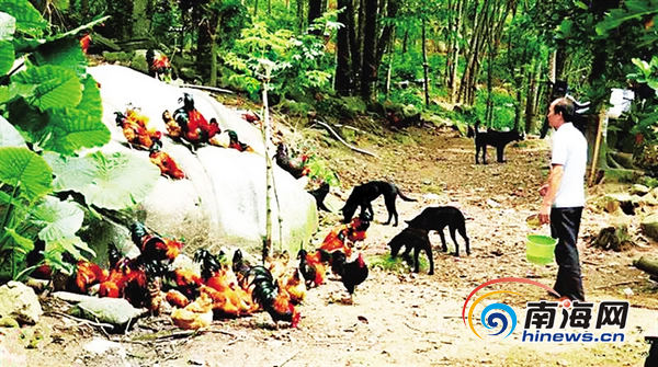 白沙村民橡胶林下养鸡养猪还养蜂日子越过越好