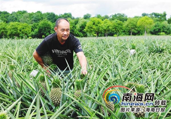 澄迈县凤梨产业协会成立 吸引86户种植户抱团树品牌