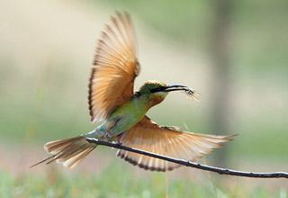 """""""中国最美小鸟""""在海口的湿地筑巢"""