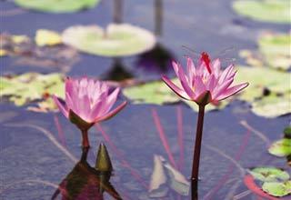 海口美舍河湿地公园梯田湿地睡莲花开