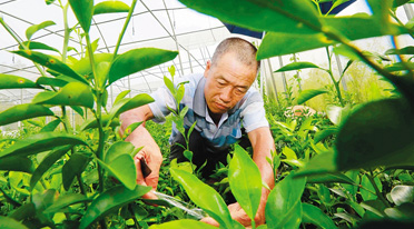琼中绿橙培育优质种苗 已完成20万株培育任务