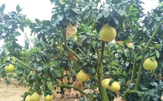 皮薄口感好!红心蜜柚成儋州重点打造的农业品牌