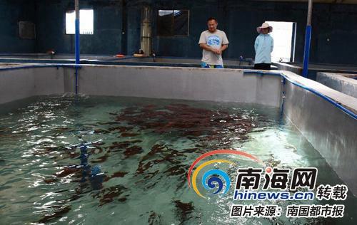台湾商人在海南养石斑鱼 鱼卵最高竟卖到7万元一公斤