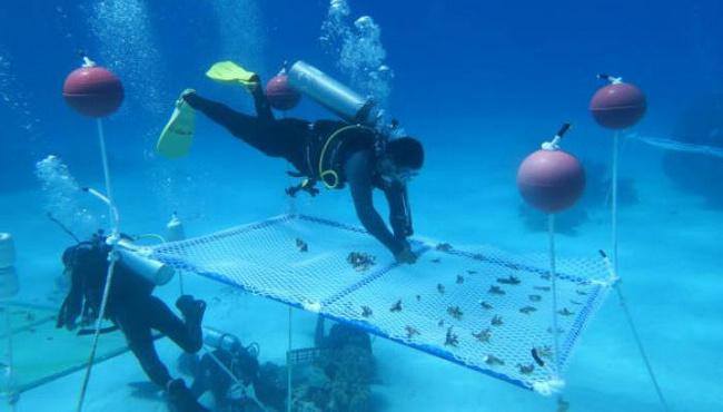 """厉害!她带领科学家团队南海""""植树造林""""种珊瑚"""