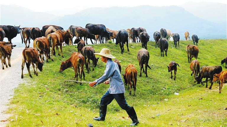 白沙七坊镇建成53个和牛养殖点 将带动农户脱贫致富