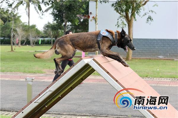 """<b>海南警方第一届警犬对抗比武开幕 警犬""""秀武技""""</b>"""