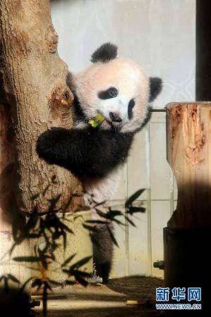 ...2月18日,在日本东京上野动物园,大熊猫幼崽图片 43330 299x450