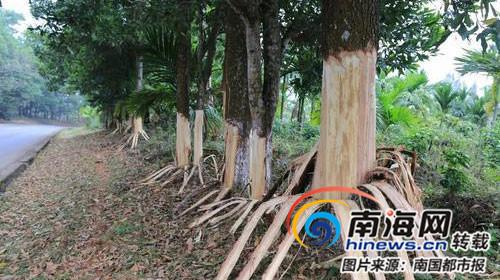 """谁干的 定安县定南线162棵树惨遭""""扒皮"""""""