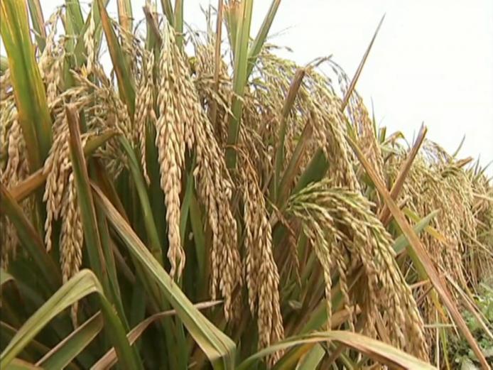 水稻根手绘横切结构图