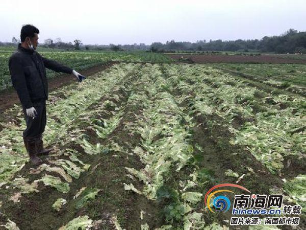 村民急了!澄迈罗浮村500亩白菜卖不出 眼睁睁看着烂地里