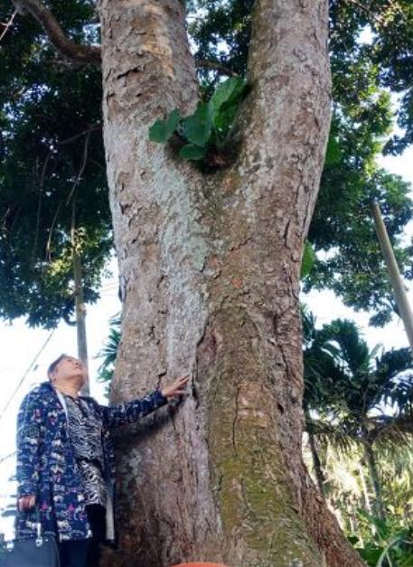 罕见!琼海百年橄榄树高达18米 3人才能合抱
