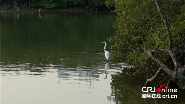 治理后的三亚河河水清澈,成片的红树林郁郁葱葱,不时有白鹭停驻岸边