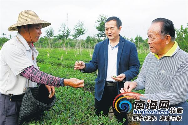 创业故事|澄迈父子携手创建年产值达5000万元万昌苦丁茶场