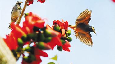 三亚气温回升 鸟儿在木棉花枝间飞舞