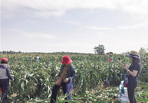 东方10万亩甜玉米销路难:爱心人士伸援手 一天卖出2万斤