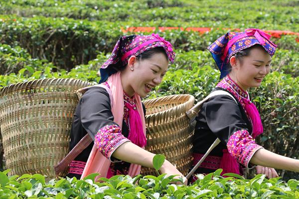 """五指山举行开采节 着力打造""""中国第一早春茶"""""""