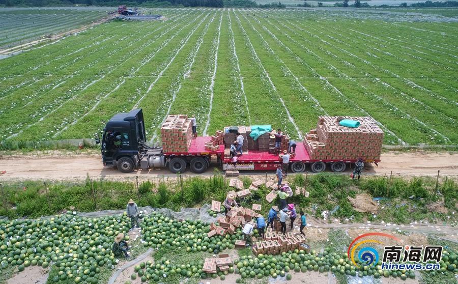 文昌龙楼镇西瓜喜获丰收7000亩西瓜产值近7000万元