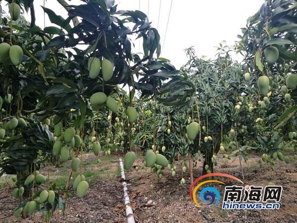 东方芒果销售难 海南农垦网、南海网微商城组织电商平台来帮忙