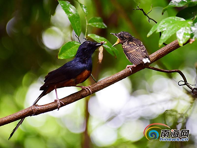 三亚热带天堂现白腰鹊鸲鸟 摄影师抓拍喂食场景