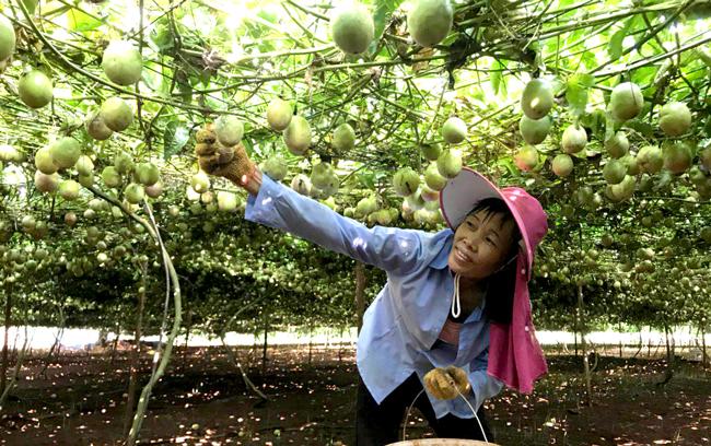 中央媒体看海南|《半月谈》关注临高特色产业扶贫