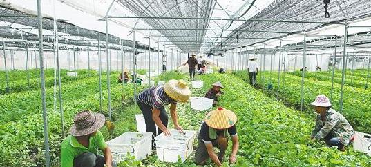 海口梁丰园蔬菜基地:科技助力 叶菜增产