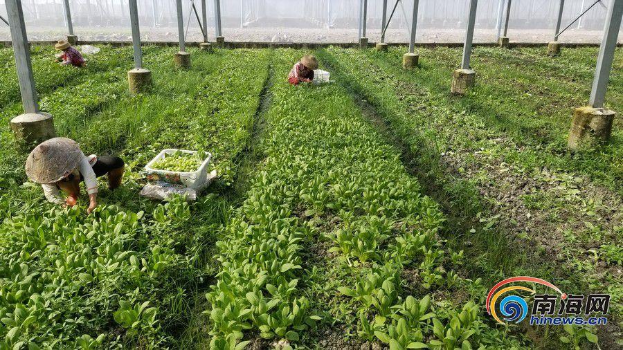 """海口菜篮子保供稳价从""""源头""""抓 基地待采蔬菜保持50吨以上"""