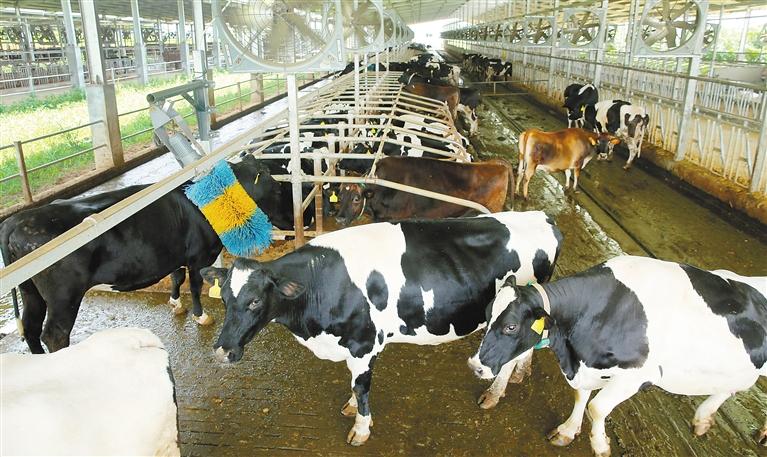 荷兰奶牛落户澄迈 日产鲜奶3吨将供应海口三亚等地