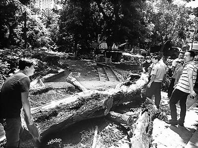 """没公司评估海口人民公园两棵枯树""""倒下""""1年还没拍卖"""