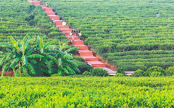 白沙农场将茶产业与旅游业结合 游客观光度假来这就对了