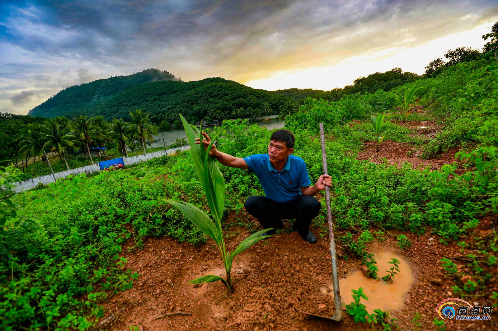 """儋州和庆农场引进种植""""香水椰"""" 调整农场产业结构"""