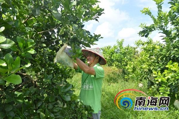 2018年澄迈无籽蜜柚采摘季启幕 一颗蜜柚最低108元不愁销
