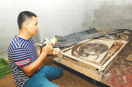 澄迈文儒镇20户农户养蛇数万条 一颗蛇蛋能卖至40元
