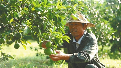 """原生态红心橙未上市已签500万元大单昌江""""橙""""就农民甜蜜事业"""
