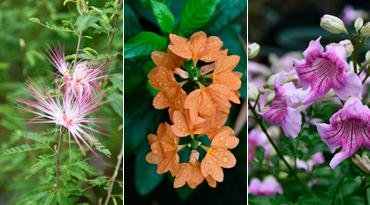 海口园林引进39种新花 又香又好看