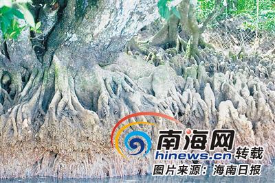 古港东寨鱼鸟欢歌 百年红树代代守望