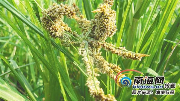 海南周刊|鸭脚粟、鸡屎藤……海南食疗养生源流长