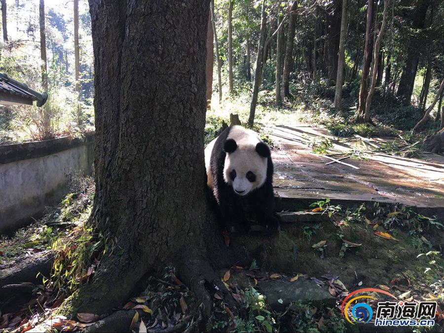 """萌照一波波 记者近距离拍到熊猫""""贡贡""""""""舜舜"""""""