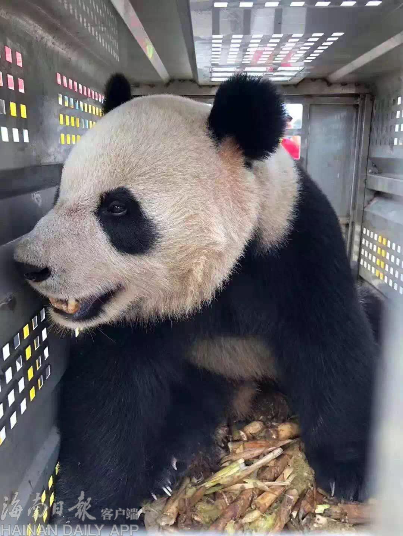 """海南""""粉丝""""组团迎熊猫贴心告白:""""千万不要瘦了"""""""