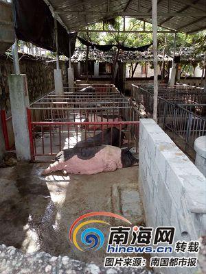 乐东村民院内养猪引邻居不满:整改通知书下达一年多还是臭