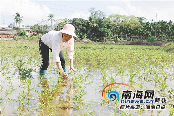 澄迈建冷泉生态芹菜种植基地 惠及250余名贫困村民