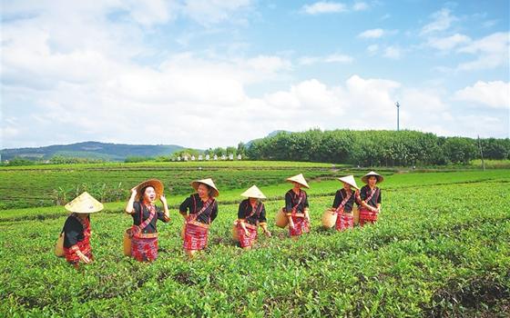 海南农垦白沙茶业公司开采春茶 首日采摘茶青2万斤