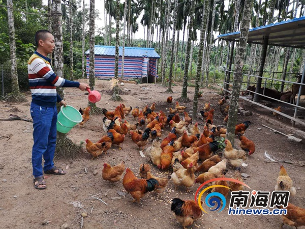 屯昌脱贫户王业炜:致富不忘乡亲 带动村民发展养殖产业